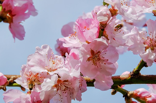 japanese-cherry-trees-3291292_640